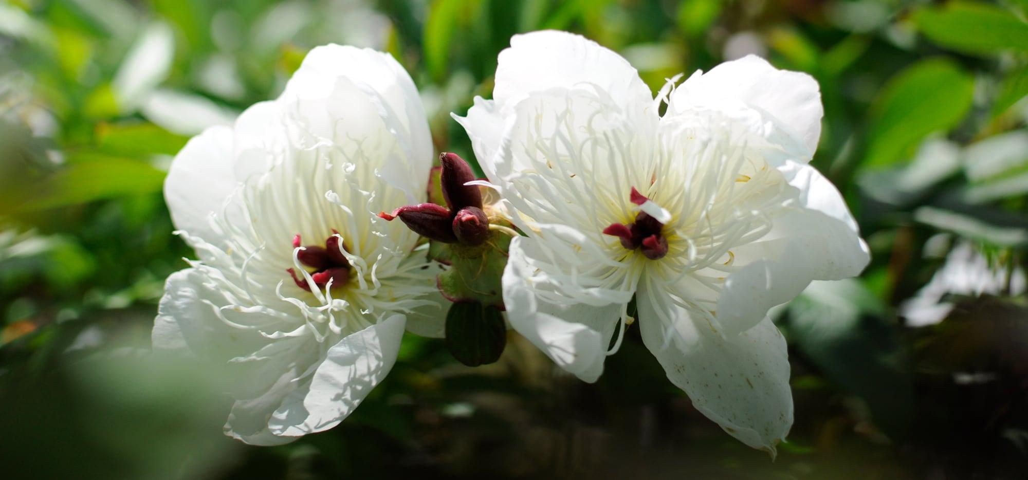 Witte Vaste Planten.Vaste Planten Merkens Tuincentrum